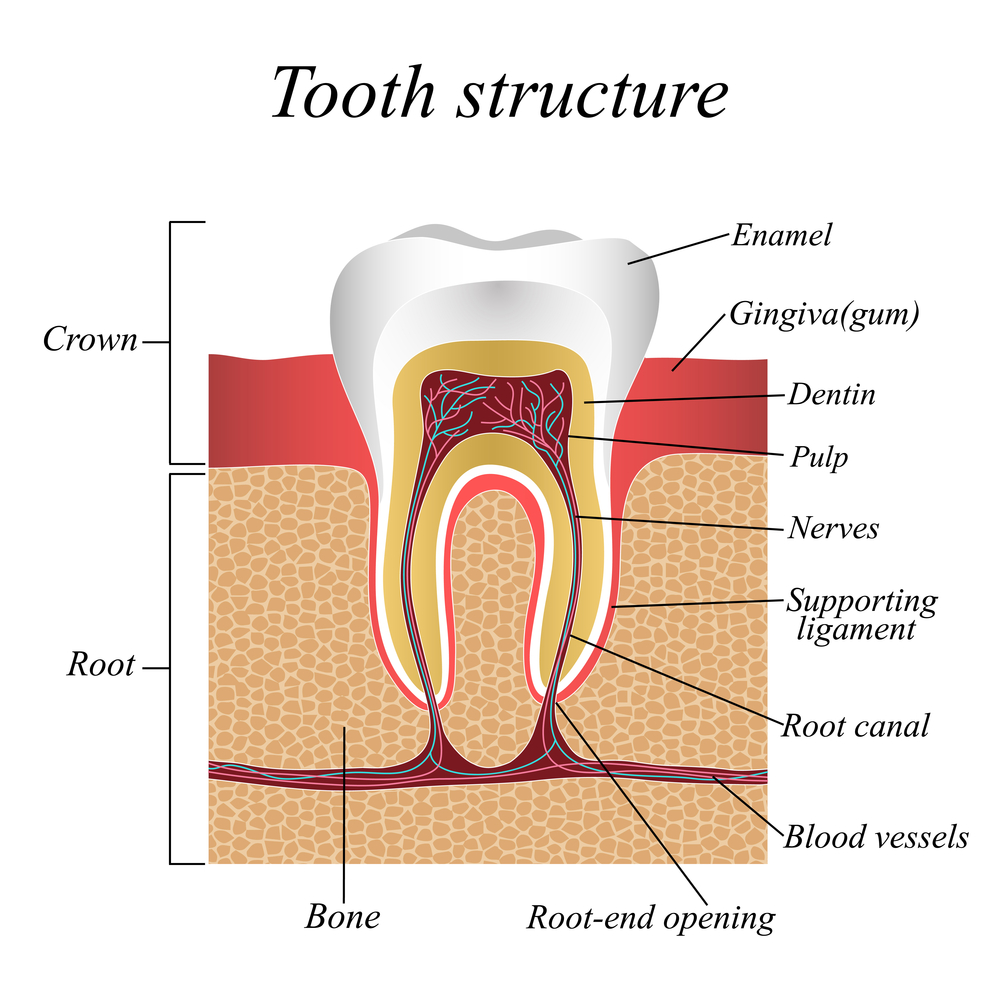 Root-Canal-Procedure-South-Hill-WA
